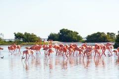 Flamingos perto de Rio Lagartos, México Fotos de Stock Royalty Free