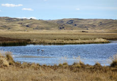 Flamingos in Peru. Flamingos fishing in a lagoon in the Andes near Lake Titicaca, Peru Stock Photography