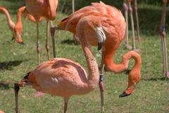 Flamingos, phoenicopter, flamingos bonitos Imagem de Stock