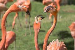Flamingos, phoenicopter, flamingos bonitos, discutindo Imagem de Stock