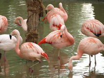 Flamingos (Phoenicopteriformes), zoo Salzburg. Austria Royalty Free Stock Images