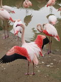 Flamingos (Phoenicopteriformes), zoo Salzburg. Austria Stock Images