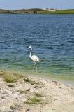Flamingos (Phoenicopterus roseus) Royalty Free Stock Photos