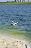 Flamingos (Phoenicopterus roseus) Royalty Free Stock Photography