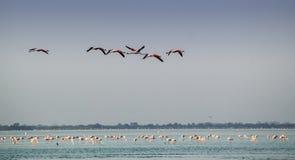Flamingos, phoenicopterus roseus, herein Stockfotos