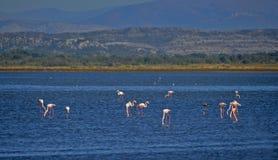 Flamingos in an abandoned salt pans of Ulcinj. Flamingos photographed in an abandoned salt pans of Ulcinj in Montenegro stock image