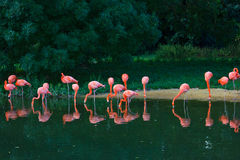 Flamingos pink birds on the river Royalty Free Stock Image