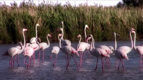 Flamingos stock video footage
