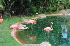 Flamingos. Pink flamingos in the dirty pond during hot summer season Royalty Free Stock Photography