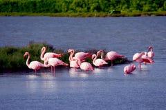 Flamingos Royalty Free Stock Photo