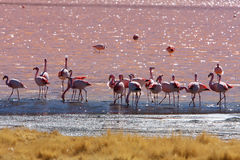 Flamingos in pink lake in bolivia Royalty Free Stock Photography