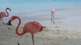 Flamingos. Pink flamingos lining an Aruban beach Royalty Free Stock Photo