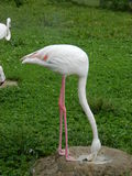 Flamingos. Stock Photography
