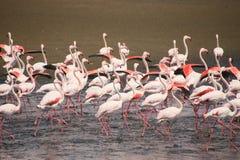 Flamingos. Pink walvis bay Namibia Royalty Free Stock Photo