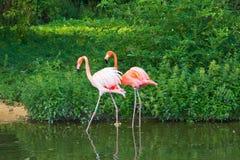 Flamingos pink zoo bird flamingo Royalty Free Stock Photography