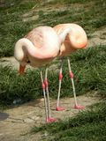 Flamingos pink zoo birds Stock Photography