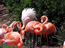 Flamingos 2 Stock Image