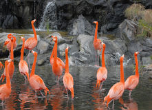 Flamingos at pond Stock Photos