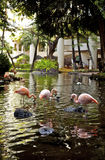 Flamingos in Pond. Bright flamingos spending time at a pond in hawaii royalty free stock photos