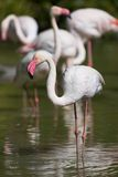Flamingos in a pond. The picture was taken in Namibia, Africa Royalty Free Stock Image