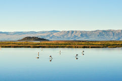 Flamingos in a pond with reflection in water Stock Photo