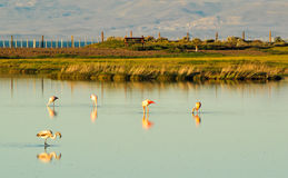Flamingos in a pond with reflection in water Royalty Free Stock Photo
