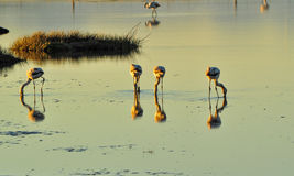 Flamingos in a pond. With reflection in water Stock Images