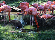 Flamingos in Pond Royalty Free Stock Photography