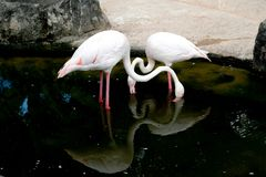 Flamingos in the pond at the zoo. Thailand royalty free stock images