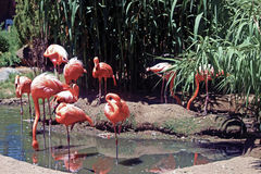 Flamingos in the Pool. Flamingos enjoying the day in the pool Stock Photography
