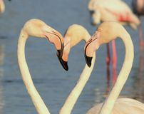Flamingos portrait Royalty Free Stock Photo