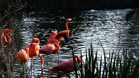 Flamingos Preening Standing In Water With Green Reeds. Flamingo Birds Preening Standing In Pond With Green Reeds rn stock footage