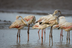 Flamingos pruning feathers Royalty Free Stock Photography