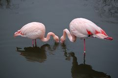 Flamingos que comem na harmonia Fotografia de Stock