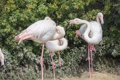 Flamingos que descansam na costa de uma lagoa Imagens de Stock