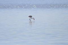 Flamingos que pescam nos pântanos de sal Fotografia de Stock Royalty Free