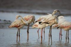Flamingos que podam penas Fotografia de Stock Royalty Free