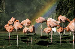 Flamingos and a Rainbow. A group of pink flamingos resting on one leg and necks curled over their backs with a rainbow in the background at the San Diego Zoo Stock Photography
