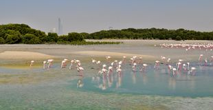 Flamingos at Ras al Khor sanctuary near Dubai. Big number of pink Flamingos at Ras al Khor sanctuary near Dubai February 2015 Royalty Free Stock Photos