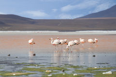 Flamingos on red lake, Salt lake, Bolivia Stock Photos