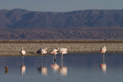 Flamingos reflected in the Lake Stock Photos