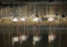 Flamingos and reflection Stock Image