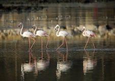 Flamingos and reflection Stock Image