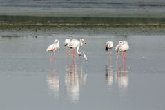 Flamingos reflection and water Stock Photography