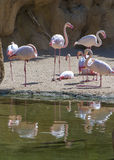 Flamingos and Reflections Royalty Free Stock Photography