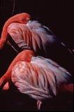Flamingos at rest. Royalty Free Stock Photo