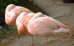 Flamingos at rest Royalty Free Stock Image