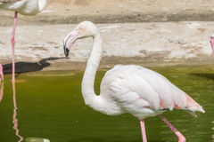 Flamingos resting on the shore of a pond Royalty Free Stock Image
