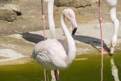 Flamingos resting on the shore of a pond Stock Images