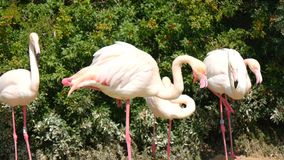 Flamingos resting on the shore of a pond (4K) stock footage